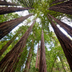 redwood tree2